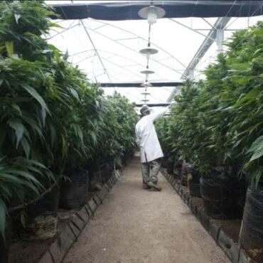 Израел легализира и регулира пушенето на марихуана за развлекателни цели!