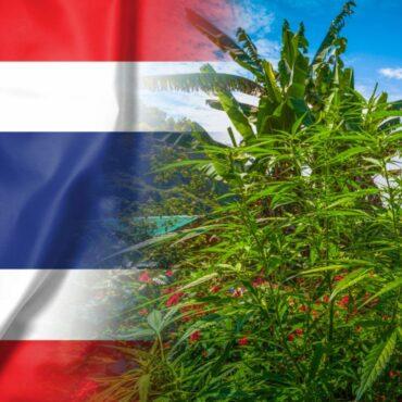 В Тайланд канабисът вече не е наркотик.